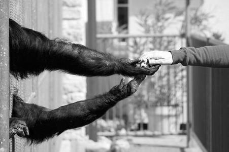 bras tendus entre un singe et un homme